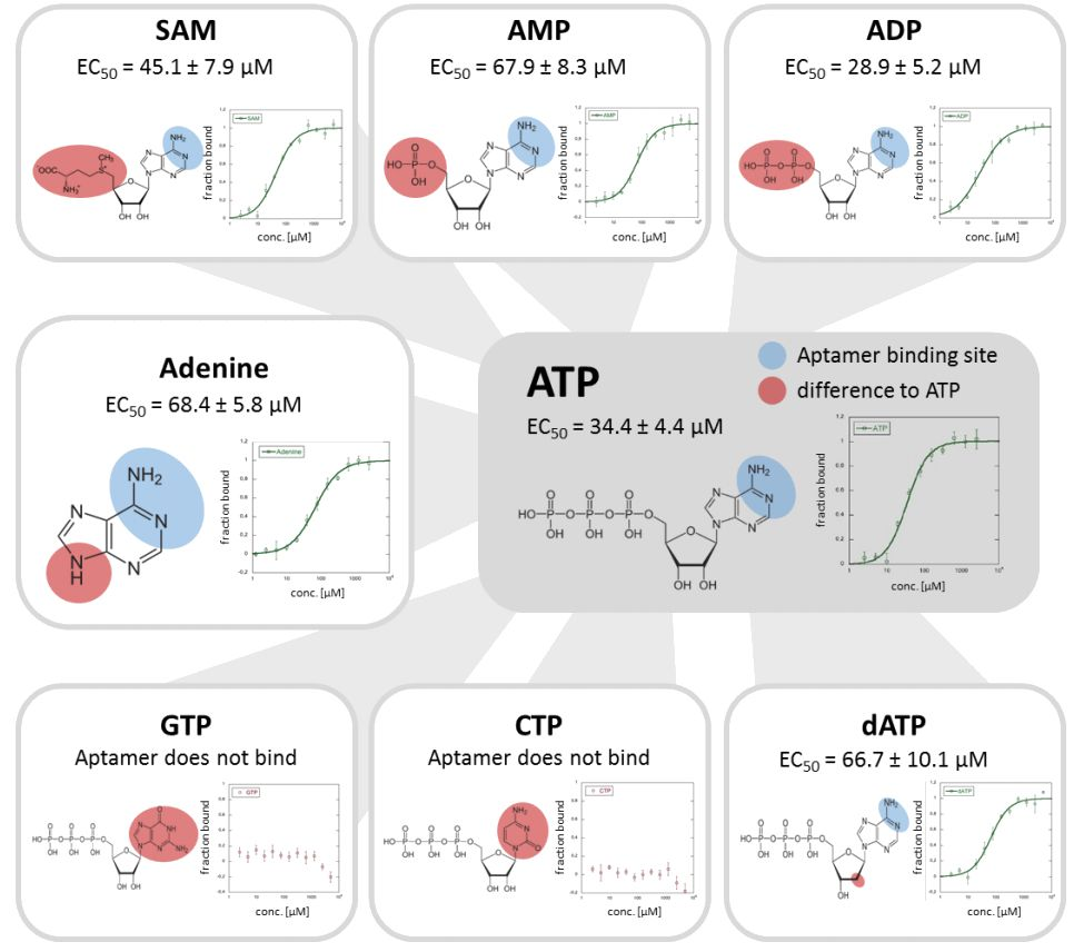 Mapping The Binding Site Of An Aptamer To The Adenine Of
